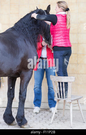Woman plaiting the mane Frisian Horse - Stock Photo