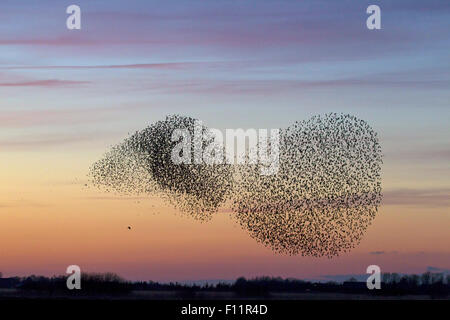 Flock Common Starlings (Sturnus vulgaris) evading bird prey - Stock Photo
