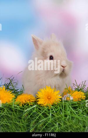 Dwarf Rabbit, Lionhead Rabbit grass Dandelion flowers - Stock Photo