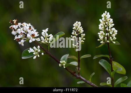 Wild privet blossom UK - Stock Photo