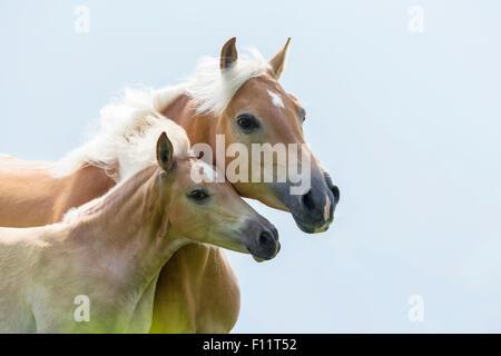 Haflinger Horse Portrait mare foal Italy - Stock Photo