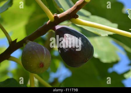 Figs on tree. - Stock Photo