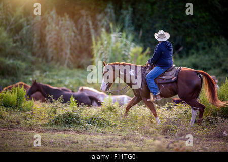 American Paint Horse Cowboy driving horses Italy - Stock Photo