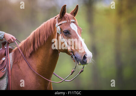 American Quarter Horse Portrait sorrel gelding tack - Stock Photo