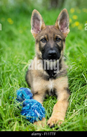 German Shepherd, Alsatian Puppy lying next to toy grass - Stock Photo