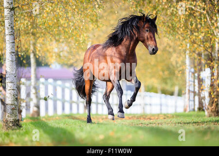 Pura Raza Espanola, Andalusian Bay gelding galloping pasture - Stock Photo