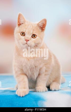 British Shorthair Creme kitten sitting - Stock Photo