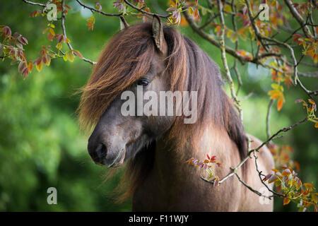 Islandic Horse Portrait stallion Austria - Stock Photo