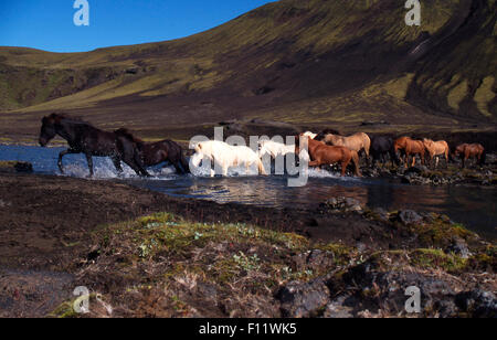 Icelandic Horse Herd crossing stream Iceland - Stock Photo