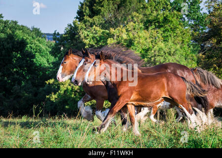 Shire Horse and Clydesdale Two mares and foal galloping meadow - Stock Photo