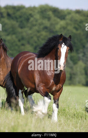 Shire Horse Bay stallion walking pasture - Stock Photo