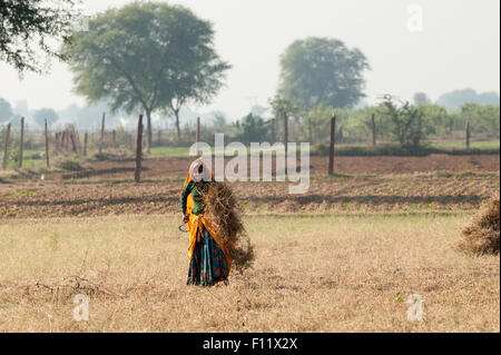 Sawai Madhopur, Rajasthan, India.  Smiling young woman in colourful clothes harvesting crops with a sickle. - Stock Photo