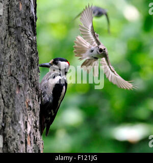 To protect its nest Pied Flycatcher attacks Great Spotted Woodpecker - Stock Photo