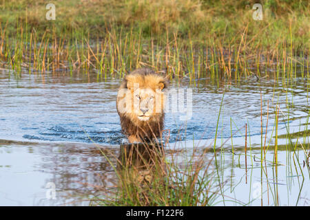 African safari Big 5: Lion (Panthera leo) crossing a river in the early morning in the Duba Reserve, Okavango Delta, - Stock Photo