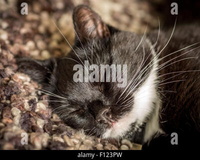 Black and white domestic cat sleeping on a knitted blanket - Stock Photo