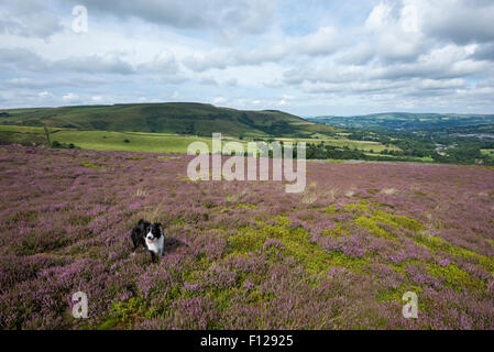 A Border Collie stands in an expanse of purple heather on moors near Glossop in Derbyshire. - Stock Photo