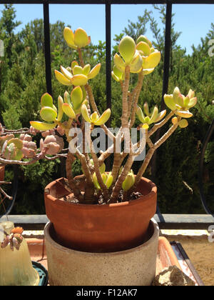 Succulent plant in a pot in Spain - Stock Photo
