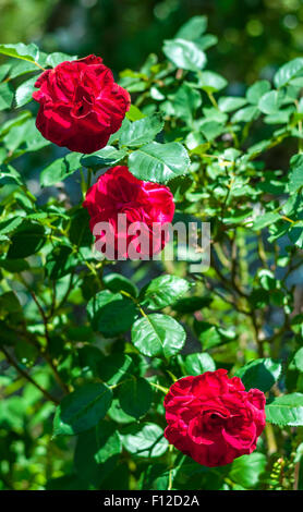 Three red roses in a garden - Stock Photo