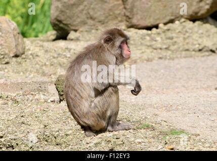 Japanese macaque or Snow monkey (Macaca fuscata) - Stock Photo