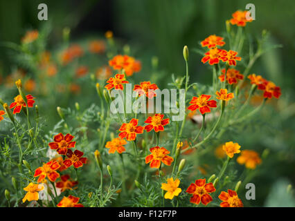 Marigold flowers - Tagetes - Orange flowers on green grass background - Shallow focus depth - Stock Photo