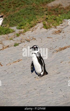 African penguin (Spheniscus demersus) walking on sandy beach to ocean - Stock Photo