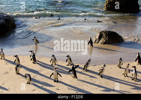 African penguin (Spheniscus demersus) colony at Boulders Beach, Cape Town - Stock Photo
