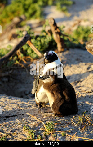 African penguin (Spheniscus demersus) mother and chick at Boulders Beach colony, Simon's Town - Stock Photo