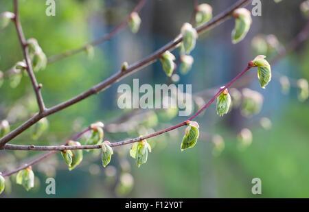 Common linden (Tilia x europaea) - Stock Photo