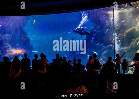Scuba Diver feeding the fish at the The national marine Aquarium , Plymouth, Devon, England, United Kingdom. - Stock Photo