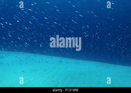 Red Sea, Egypt. 15th Oct, 2014. A large school of small fish on a sandy bottom, Red Sea, Egypt © Andrey Nekrasov/ZUMA - Stock Photo