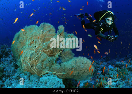 Red Sea, Egypt. 15th Oct, 2014. Diver looks at coral purple gorgonian seafan (Gorgonia flabellum) Red sea, Egypt, - Stock Photo