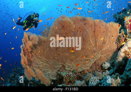 Red Sea, Egypt. 15th Oct, 2014. Diver photographing coral purple gorgonian seafan (Gorgonia flabellum) Red sea, - Stock Photo