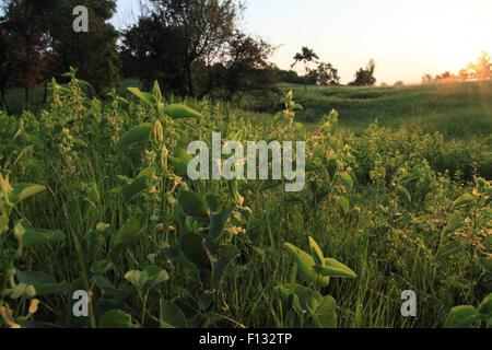 Sunrise and European Birthwort (Aristolochia clematitis) - Stock Photo