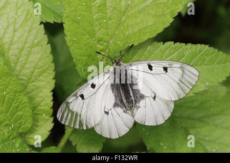 Clouded Apollo (Parnassius mnemosyne). The species is listed as NT (Near Threatened) in the IUCN global red list. - Stock Photo