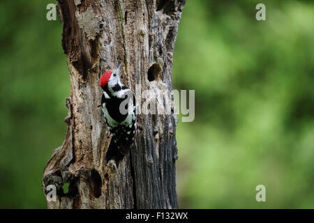 Middle Spotted Woodpecker (Leiopicus medius) - Stock Photo