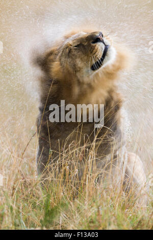 Male Lion (Panthera leo) shaking off water in the rain, Masai-Mara game reserve, Kenya. - Stock Photo