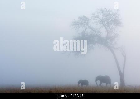 Elephant (Loxodonta africana) female and calf under tree in the rain, Masai-Mara game reserve, Kenya. - Stock Photo