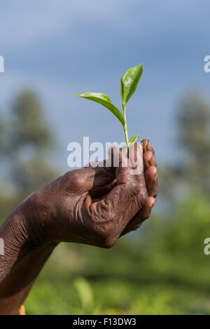 Close-up of a hand holding freshly picked tea leaves, Sri Lanka - Stock Photo