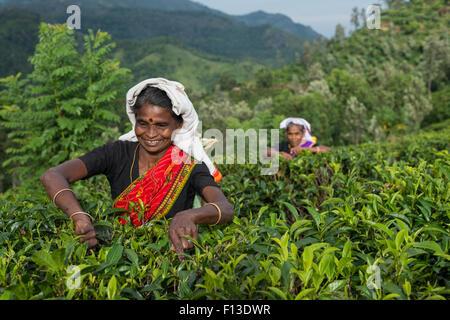 Two women picking tea, sri lanka - Stock Photo