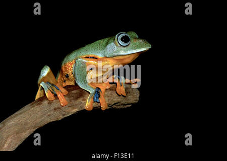 Portrait of a frog sitting on a branch - Stock Photo