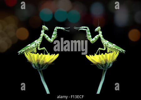 Two mantis sitting on flowers fighting, Indonesia - Stock Photo