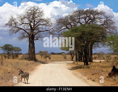 Zebra crossing road, Tarangire National Park, Manyara,  Tanzania - Stock Photo