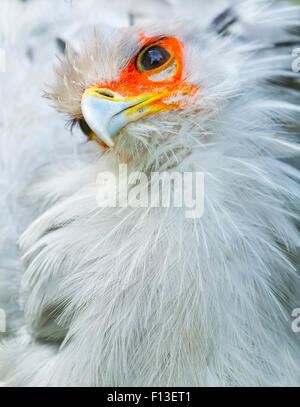 Secretarybird / Secretary Bird (Sagittarius serpentarius) close up, captive endemic to Africa. - Stock Photo