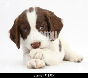 Working English Springer Spaniel puppy, 6 weeks, lying with crossed paws. - Stock Photo