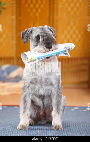 Standard Schnauzer, male age 10 years with pepper-and-salt colouration, carrying newspaper. - Stock Photo