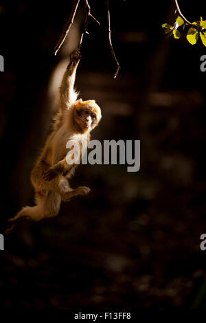 Barbary macaque (Macaca sylvanus) hanging from a branch in the cedar forests of the Middle Atlas Mountains,  Morocco. - Stock Photo