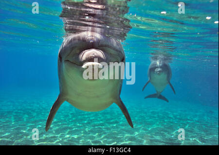 Bottlenose dolphins (Tursiops truncatus) approaching with curiosity, Dolphin Reef, Eilat, Israel. Red Sea. - Stock Photo