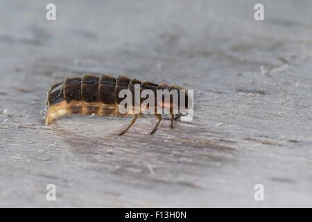 Great European glow-worm beetle, glowworm, firefly, female, Großer Leuchtkäfer, Glühwürmchen, Weibchen, Lampyris - Stock Photo