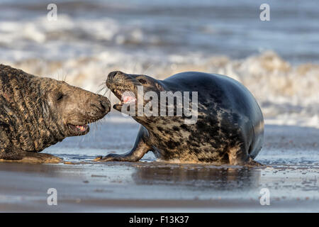 Atlantic Grey Seal female aggression - Stock Photo