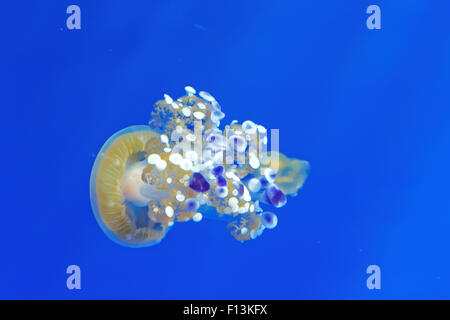 Phyllorhiza punctata is a species of jellyfish, also known as the floating bell, Australian spotted jellyfish or - Stock Photo